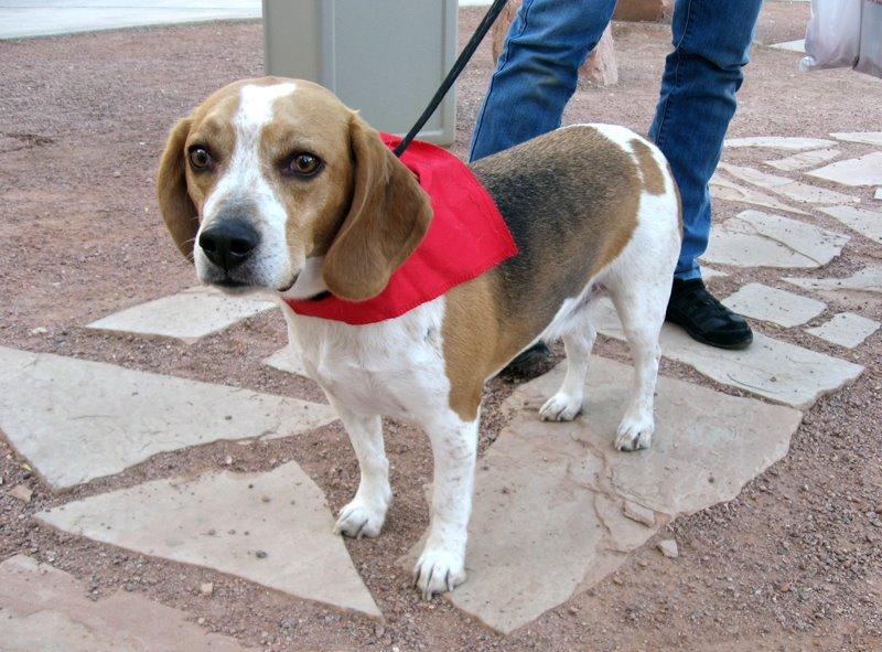 Snoopy Southern Nevada Beagle Rescue