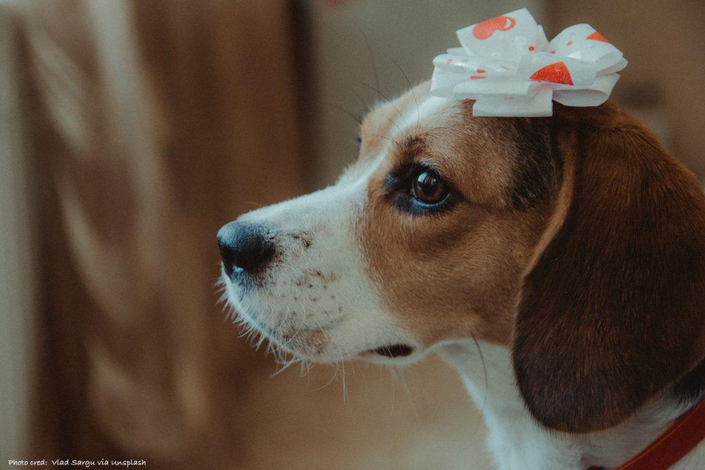 Beagle for Amazon Wish List