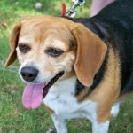 Sponsor a Beagle