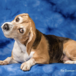 Beagles in our care