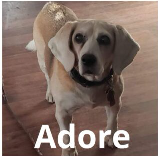 Adore the Beagle