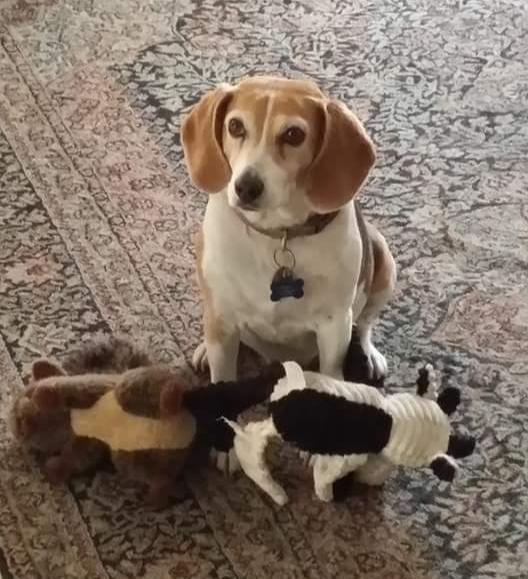 Bina Southern Nevada Beagle Rescue