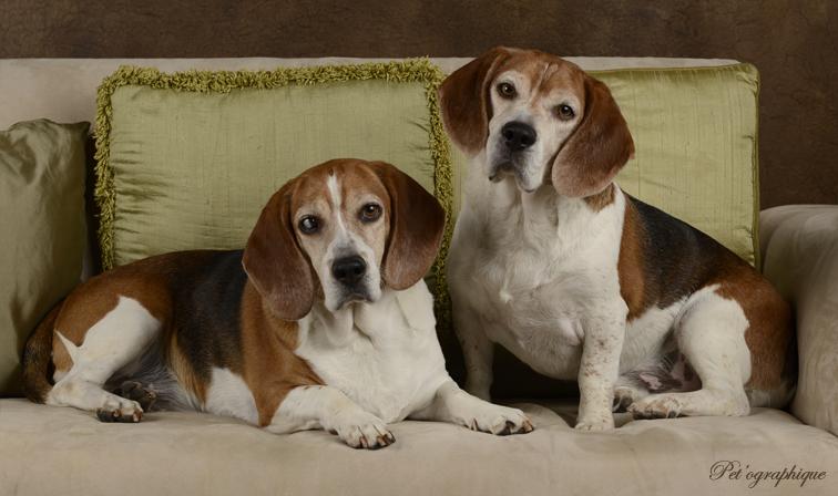 Hank Southern Nevada Beagle Rescue