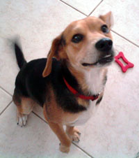 adopt Beagle dog in Southern Nevada