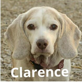 Clarence the Beagle