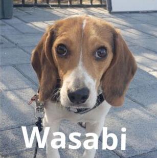 Wasabi the Beagle